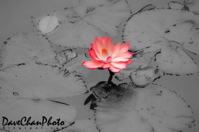 Lotus in muddy water